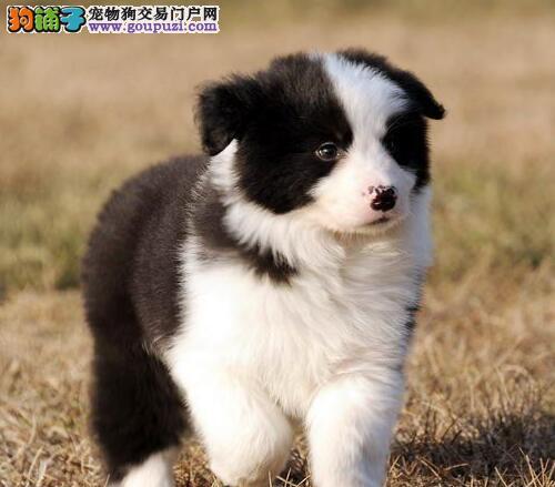 高智商极其聪明的广州边境牧羊犬找新家 疫苗驱虫齐全