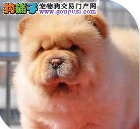 转让紫舌深圳松狮犬 驱虫疫苗已做齐购买有优惠有礼物