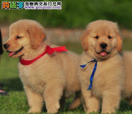 金毛郑州CKU认证犬舍自繁自销微信咨询看狗狗视频