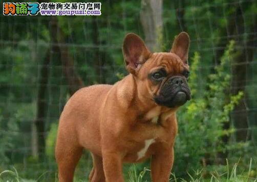 株洲专业繁殖法国斗牛犬 品质高品相好