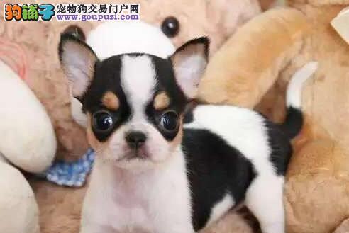 吉娃娃北京CKU认证犬舍自繁自销带血统证书签活体协议