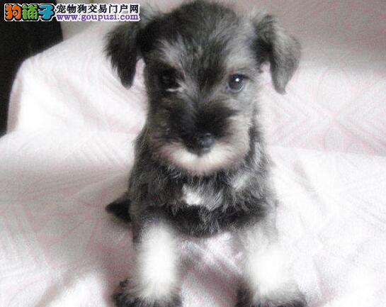 云南玉溪买雪纳瑞犬的地方/玉溪直销纯种雪纳瑞幼犬