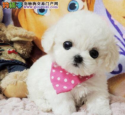 出售棉花糖一样顽皮而可爱的合肥比熊犬 健康质保