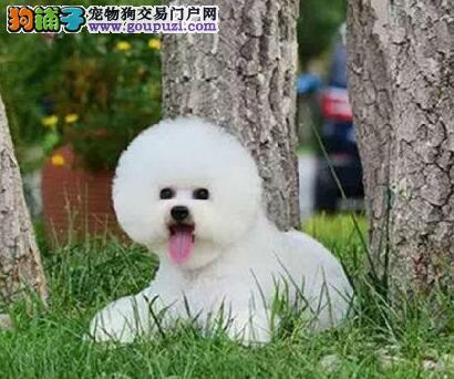 活泼可爱纯种比熊幼犬宝宝武汉热销 血统纯正 毛量丰富
