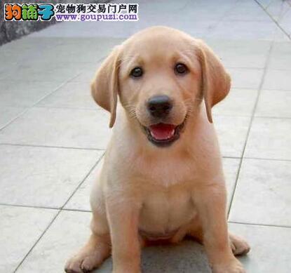 拉布拉多宝宝热销中 专业繁殖血统纯正 微信咨询看狗