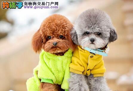 韩国血统纯种茶杯玩具的广州泰迪幼犬低价出售 签协议