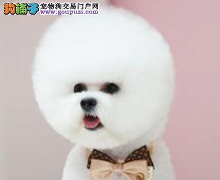 卷毛血统纯正的广州比熊犬找爸爸妈妈 可随时上门选购