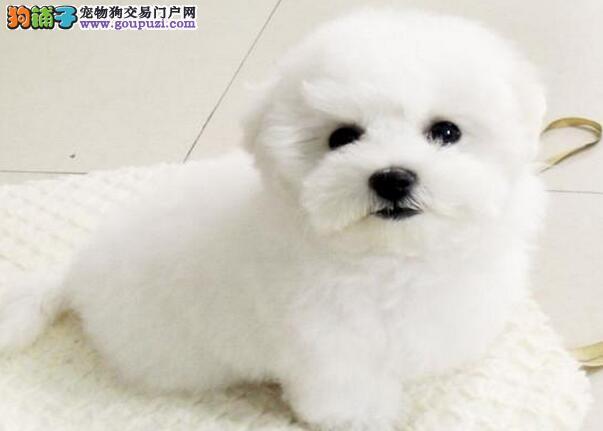 国际注册犬舍 出售极品赛级比熊幼犬终身质保终身护养指导