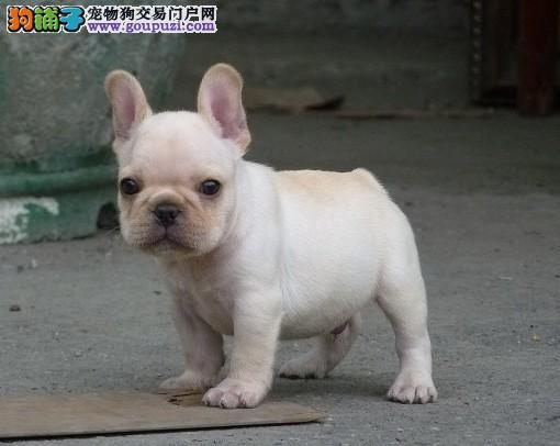 杭州出售颜色齐全身体健康法国斗牛犬可直接微信视频挑选
