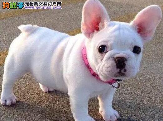 天津本地犬舍出售优质斗牛犬 可签协议保证健康