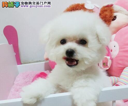 热销顶级优秀卷毛包头比熊犬 保证品质健康价格合理