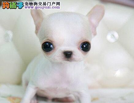 专业实体店促销金鱼眼广州吉娃娃质量有保证