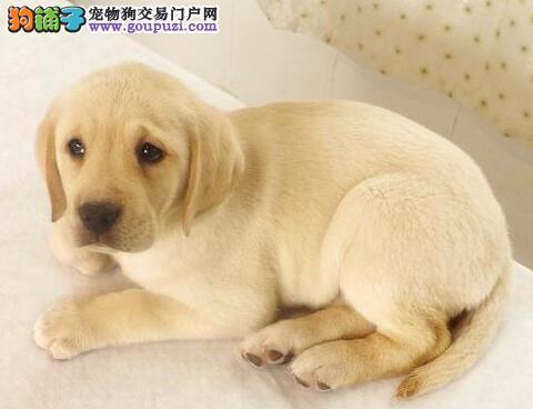 成都顶级狗场出售拉布拉多犬 血统纯正有防疫证明