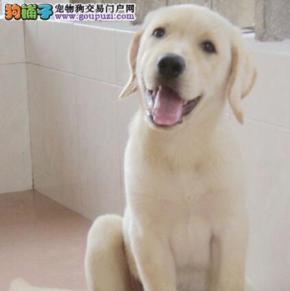 精品的贵阳拉布拉多犬超低价出售中 保纯种健康保品质