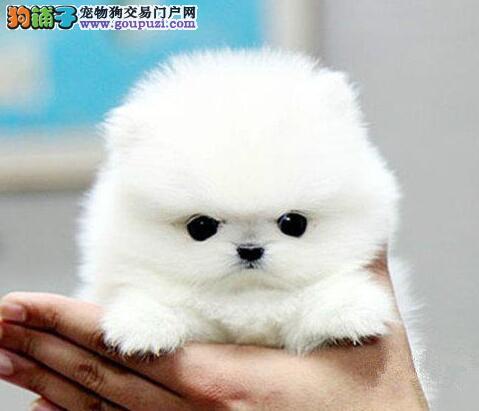 广东热销博美犬颜色齐全可见父母全国空运发货
