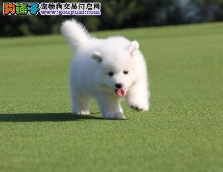 转让微笑天使萨摩耶 三亚市区免费送狗上门服务