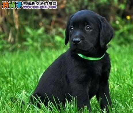 精品拉布拉多幼犬一对一视频服务买着放心品质血统售后均有保障