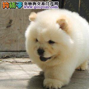 肉嘴紫舌极品松狮北京出售