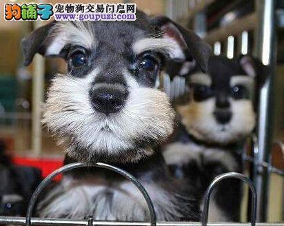 青岛信誉犬舍出售纯种雪纳瑞 颜色多样保质量保健康