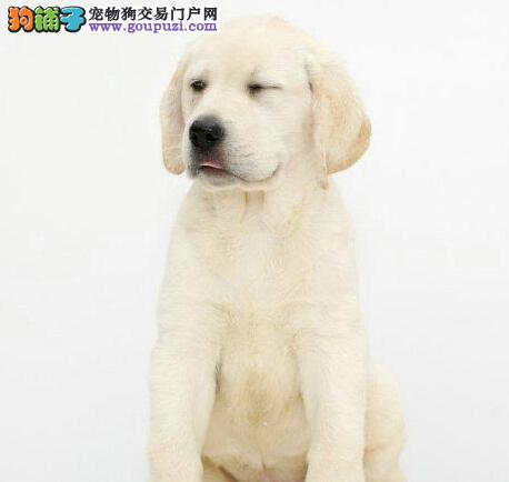 北京出售极品拉布拉多幼犬完美品相期待来电咨询