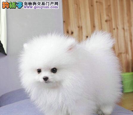 出售哈多利版优秀博美犬 青岛周边地区可送狗笼子