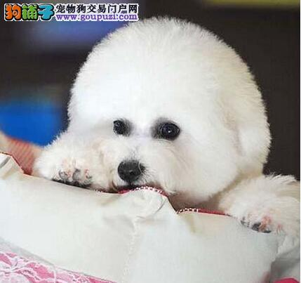 诚信为本 特价出售纯种卷毛广州比熊犬身体健康