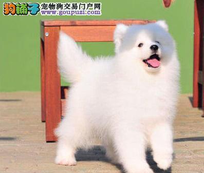 热销优秀微笑天使萨摩耶 深圳周边建议来犬舍购买