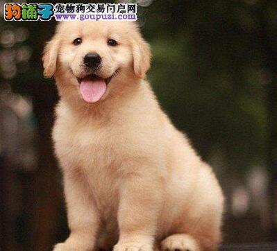 广州超越狗场有卖金毛犬 狗狗,广州哪里有卖狗狗