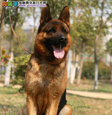 狗场直销长毛赛级血统高品质德牧幼犬可签质保