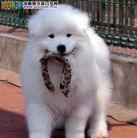 铜仁出售萨摩耶颜色齐全公母都有签订协议包细小犬瘟热