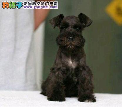 大胡子椒盐色的雪纳瑞幼犬热卖中 武汉周边免费送货