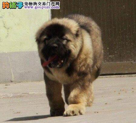 青岛基地自繁自销高加索犬 最低的价格最好的品质