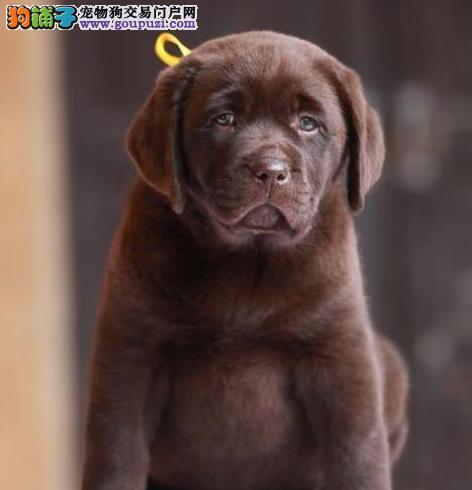 正品纯正血统拉布拉多犬哈尔滨犬舍特价直销 有合同