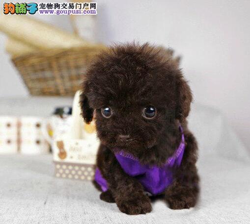 实体犬舍出售精品海口泰迪犬 欢迎大家上门参观