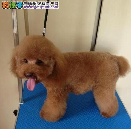 出售高端贵宾犬,金牌店铺假一赔十,提供养狗指导