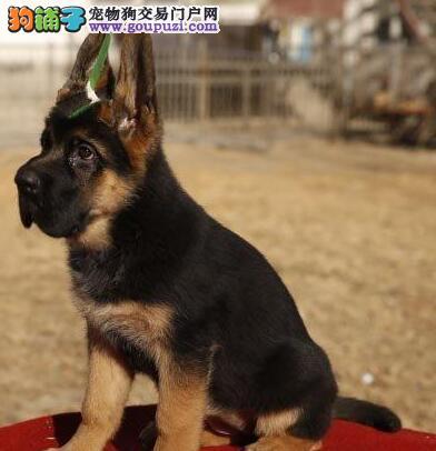 专业繁殖纯种天津德国牧羊犬疫苗齐全均有三证保障
