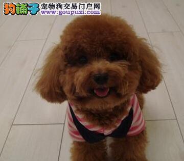 出售纯种健康可爱韩系泰迪犬 南宁地区最低价颜色多样