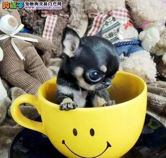 今日特价出售呼和浩特吉娃娃幼犬 欢迎上门选购看狗