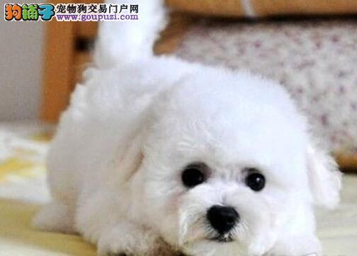 CKU认证犬舍出售纯种比熊 比熊幼犬 终身质保