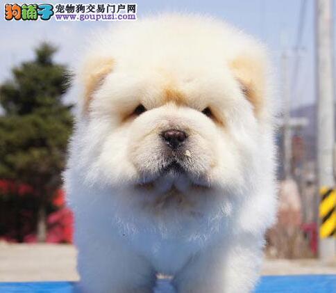专业繁殖极品杭州松狮犬转让可见父母签售后