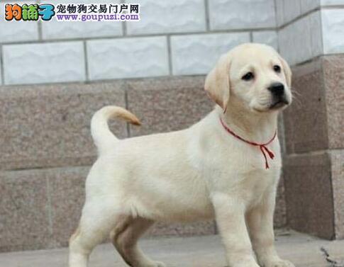 赣州出售极品拉布拉多幼犬完美品相优质服务终身售后