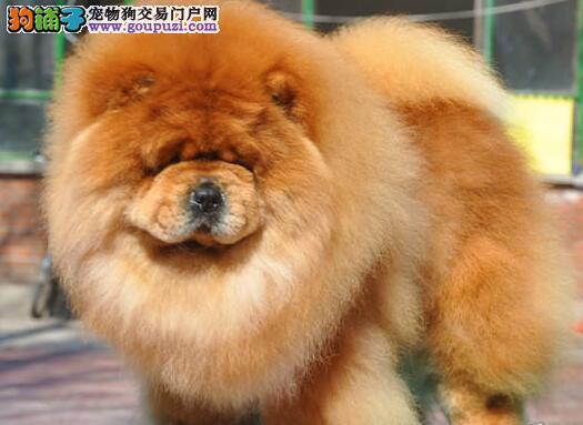合肥正规犬舍出售紫舌头的松狮犬 可提前预定选购