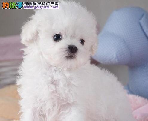 出售优秀韩系福州泰迪犬 来福州购买可办理血统证书