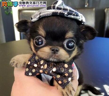 世界上最小的袖珍狗狗吉娃娃年底特价出售