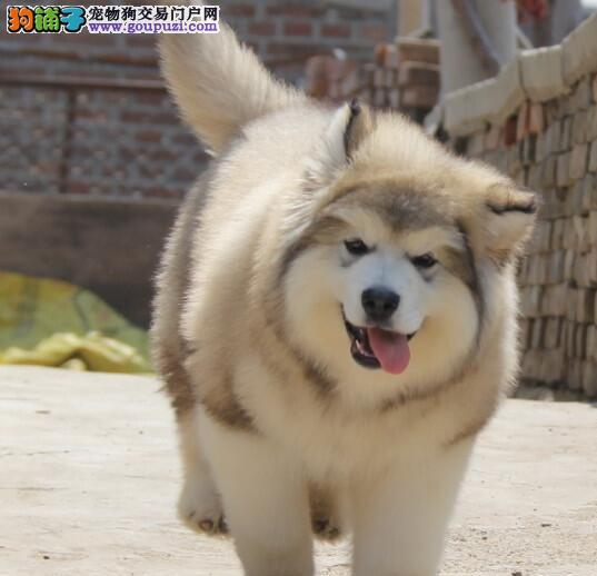 狗场直销南京阿拉斯加雪橇犬好品相质保出售