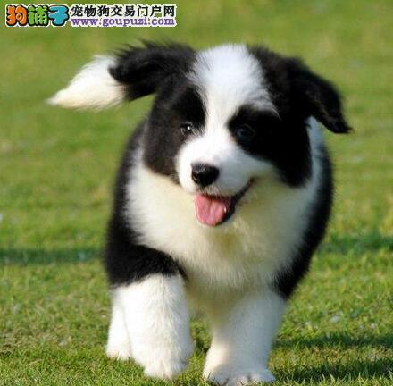 潍坊自家繁殖的高智商边境牧羊犬找新家 签订协议