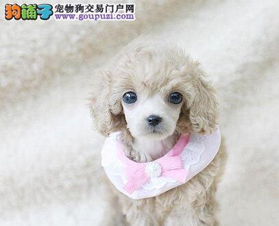 纯种贵宾犬出售、高端大气精典品质、提供养护指导