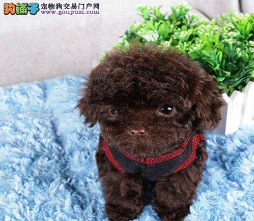 促销价格出售极品优秀韩系血统泰迪犬 苏州周边包送
