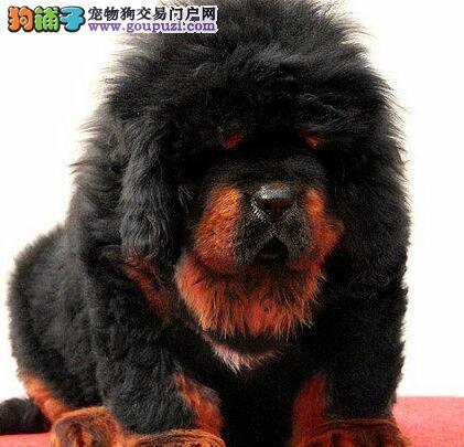 武汉第一獒园出售·铁包金·红獒·金獒.血统纯正健康