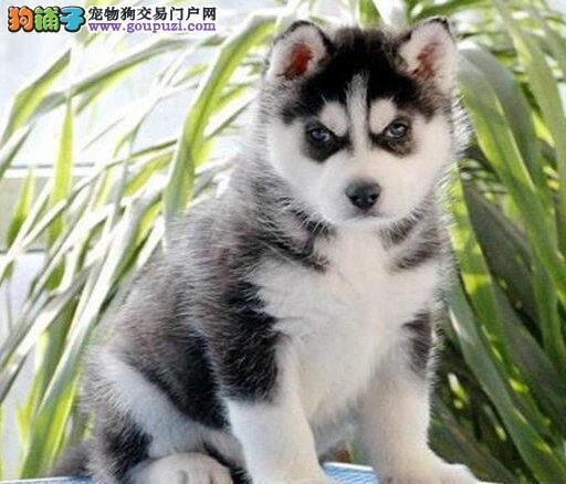 贵阳知名犬舍出售双蓝眼哈士奇幼犬 可随时上门选购犬